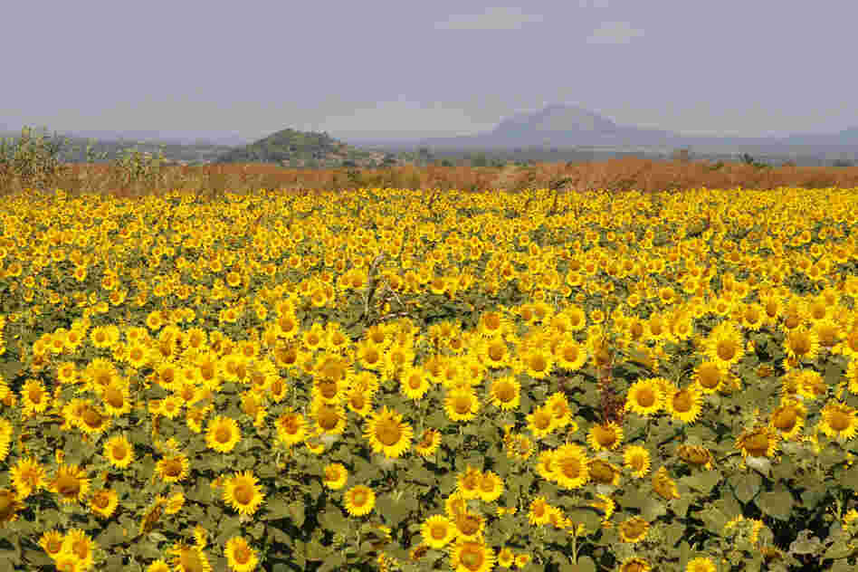 The company Quifel Natural Resources is growing sunflowers near Ruasse. It's part of a land concession that covers 25,000 acres. Sunflowers are valuable for their oil.