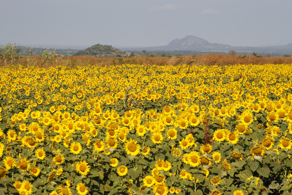 The company Quifel Natural Resources is growing sunflowers near Ruasse. It's part of a land concession that covers 25,000 acres. Sunflowers are valuable for their oil. (NPR)