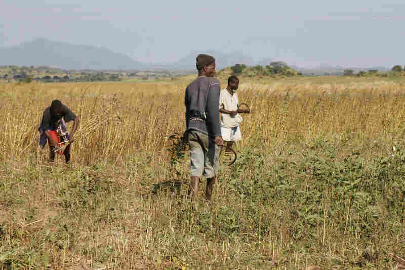 Workers harvest sesame, an oilseed crop, on the large farm that Quifel Natural Resources has set up in northern Mozambique.