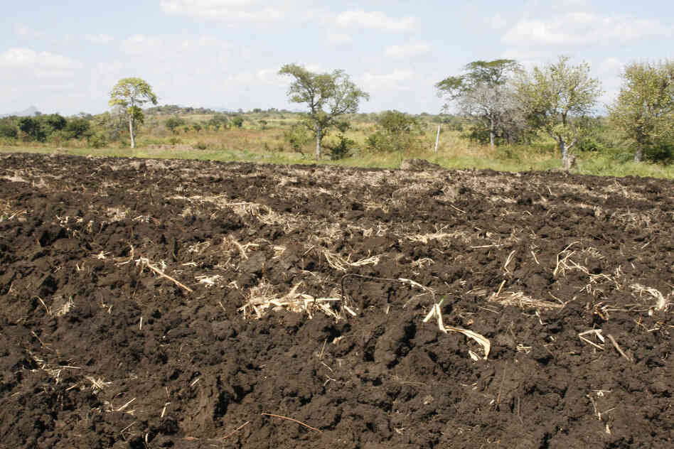Villagers in Ruasse used this land to grow corn, sugar cane and cassava. A month or two ago, tractors from the Quifel Natural Resources farm plowed it up. The villagers say that they never received any payment for the crops that they lost.