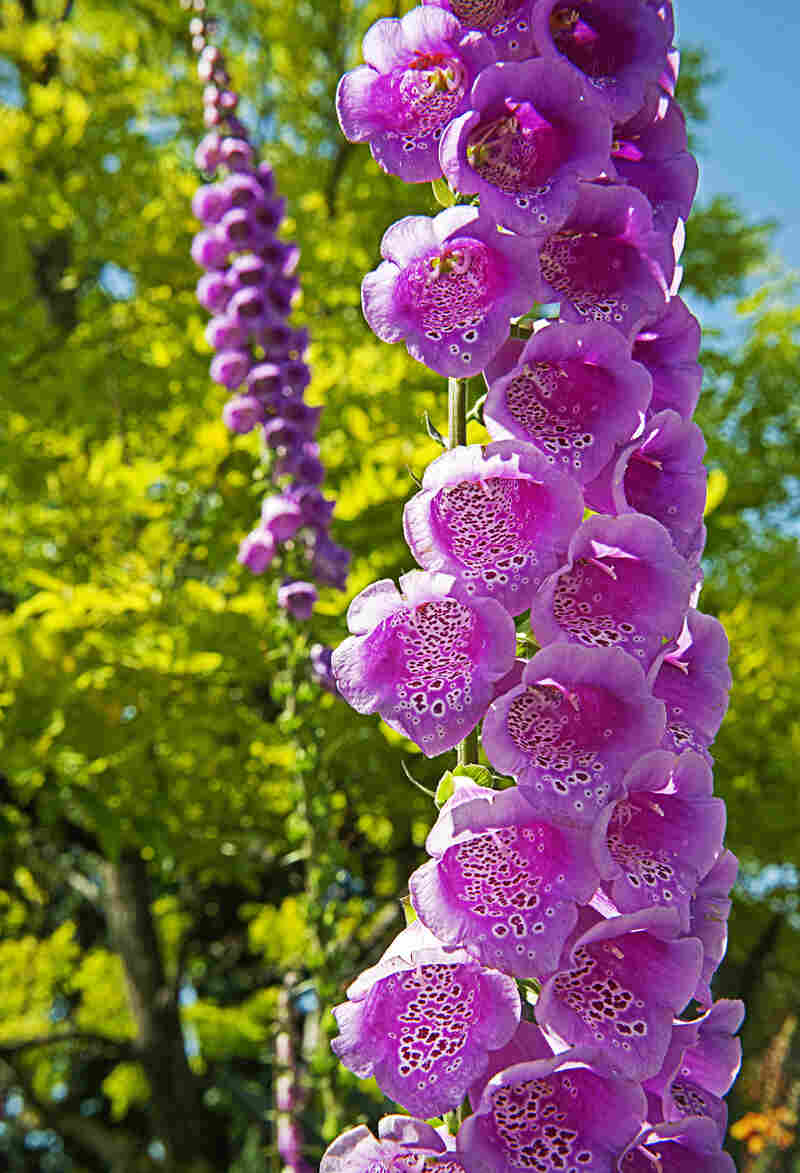 Naturally grown in woodland shadows, Excelsior Hybrids foxglove stand on display close to the garden's entrance.