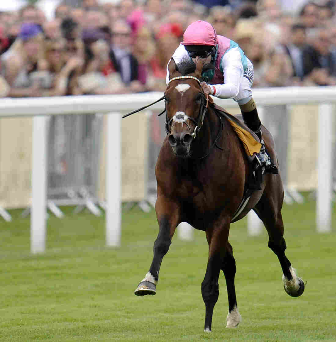Frankel, with jockey Tom Queally aboard, as he sped away with the win today at Royal Ascot.