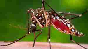 A female mosquito acquires a blood meal. This species, Aedes aegypti, carries and transmits the dengue fever virus.