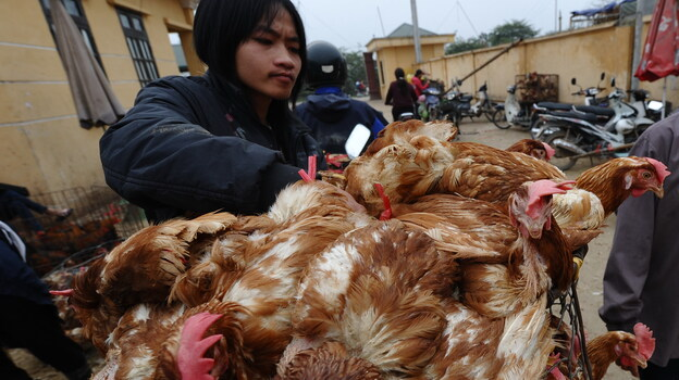 Vietnam has contained the fatal bird flu cases that raged in the late 2000s, but it is still struggling with new cases of the virulent disease. Here, a poultry trader loads live chickens onto his motorbike on March 16 at a market outside Hanoi. (AFP/Getty Images)