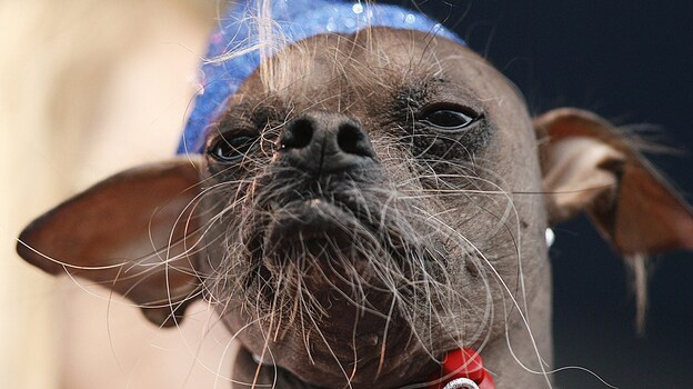 Mugly, a Chinese crested dog from the United Kingdom won the 2012 World's Ugliest Dog contest at the Sonoma-Marin Fair in Petaluma, Calif., on Friday. (AFP/Getty Images)