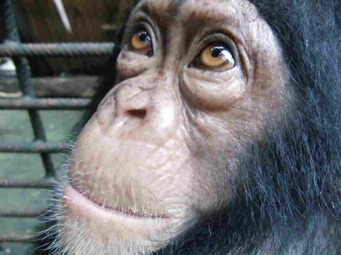 Yabien, a three-year-old chimpanzee at the Limbe Wildlife Centre in Cameroon