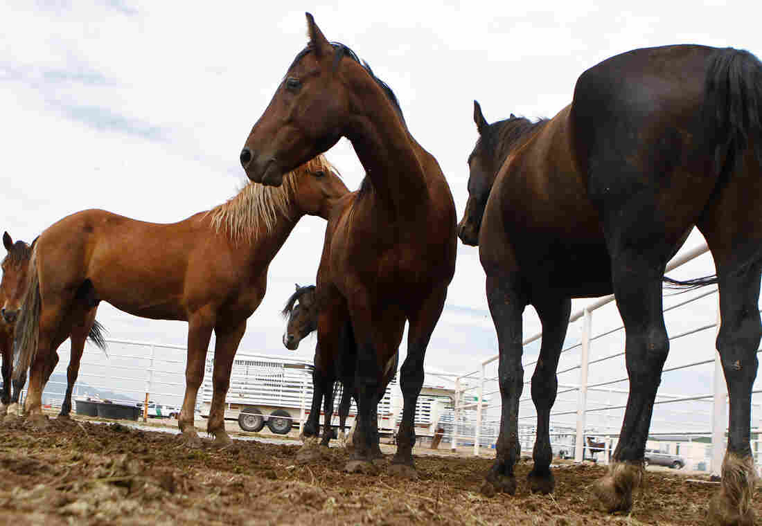 The U.S. Border Patrol uses wild mustangs rounded up from the Rockies as it takes its hunt for smugglers into the most rugged terrain on the Arizona-Mexico border.