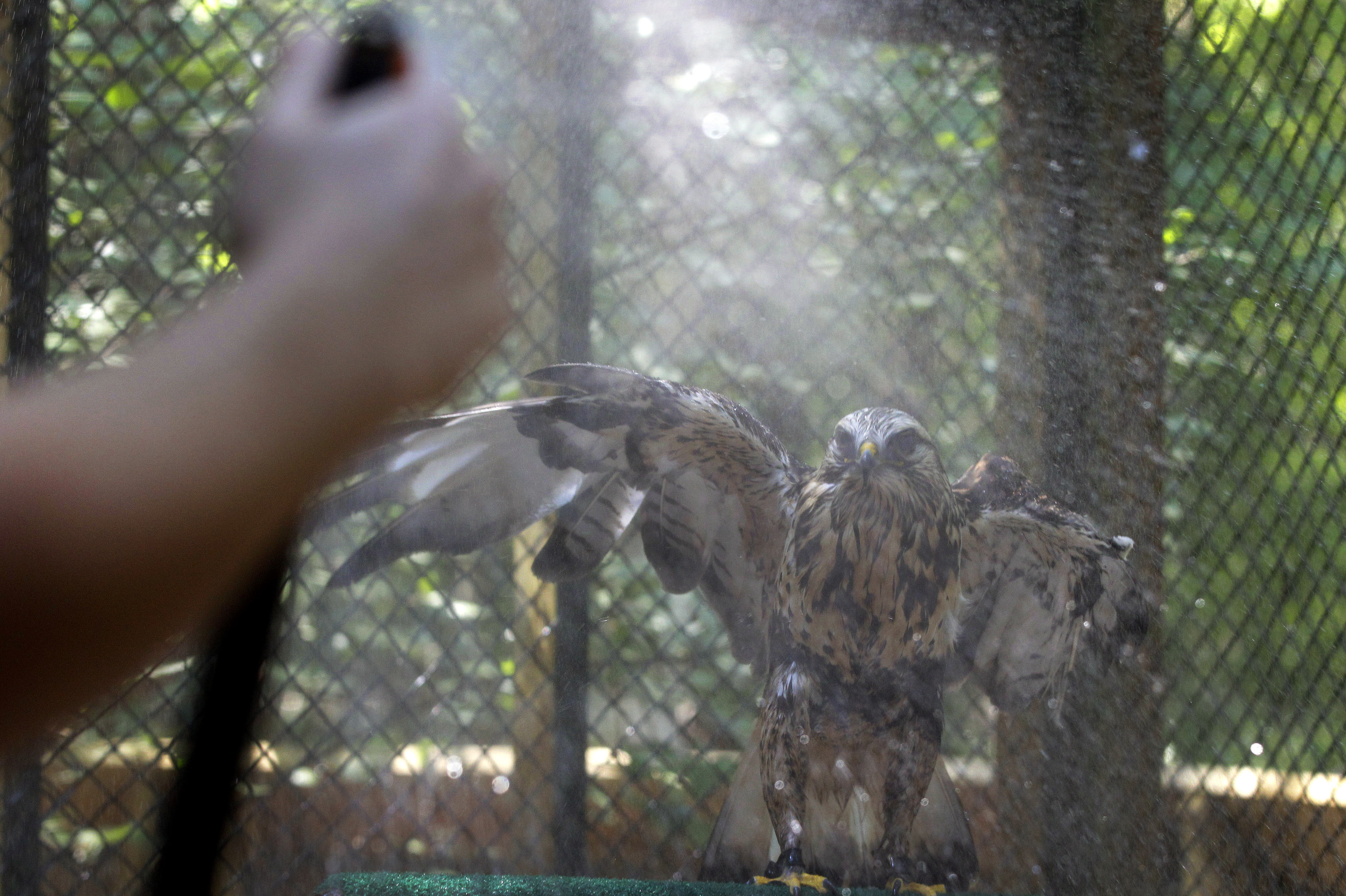Aletta, a rough-legged hawk, flaps her wings as she gets a cooling shower from a hose at the Carolina Raptor Center in Charlotte, N.C., on Friday.