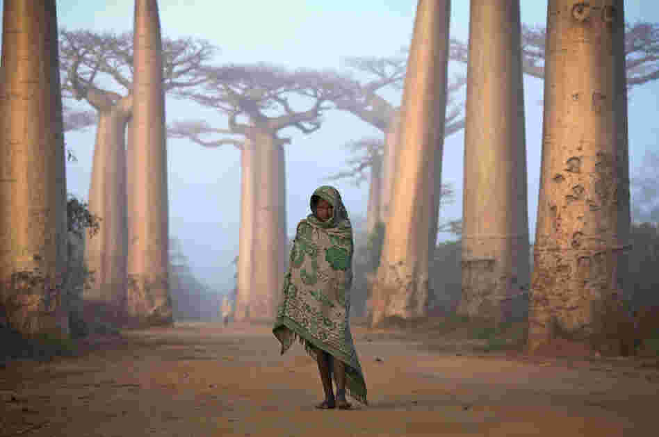 """Near the city of Morondava, on the west coast of Madagascar, lies an ancient forest of Baobab trees."""
