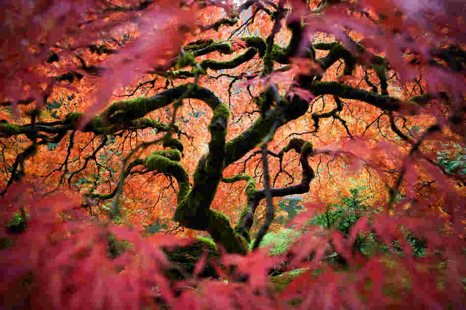 """This is the great Japanese maple tree in the Portland Japanese Garden. I tried to bring a different perspective of this frequently photographed tree."""