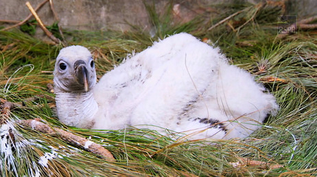 A vulture chick at a diclofenac-free care center.