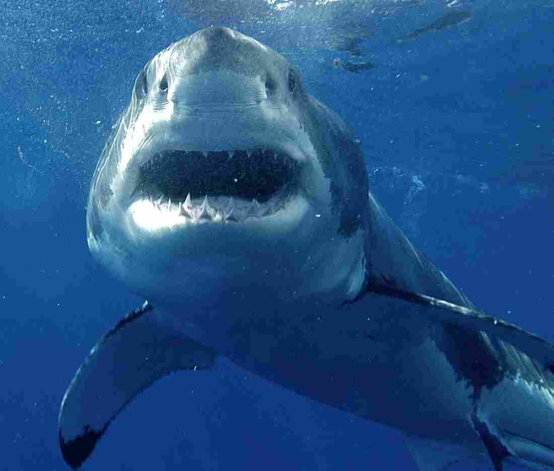 A great white shark swims off Guadeloupe.