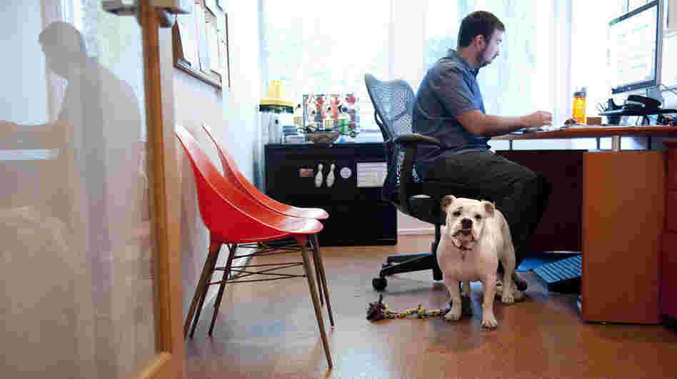 Ginger, an English bulldog, comes to work each day with Will Pisnieski. She's one of several dogs who are regular fixtures at dog-friendly Authentic Entertainment in Burbank, Calif.