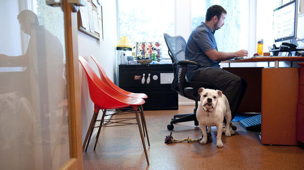 Ginger, an English bulldog, comes to work each day with Will Pisnieski. She's one of several dogs who are regular fixtures at dog-friendly Authentic Entertainment in Burbank, Calif. (AP)