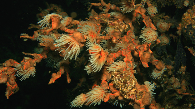 Coral polyps feed in the plankton-rich waters by Santa Catalina, Panama. A new study of coral reefs off the Pacific coast of Panama shows that dead coral reefs may be able to recover from rising ocean temperatures and other environmental disasters. (Flickr)