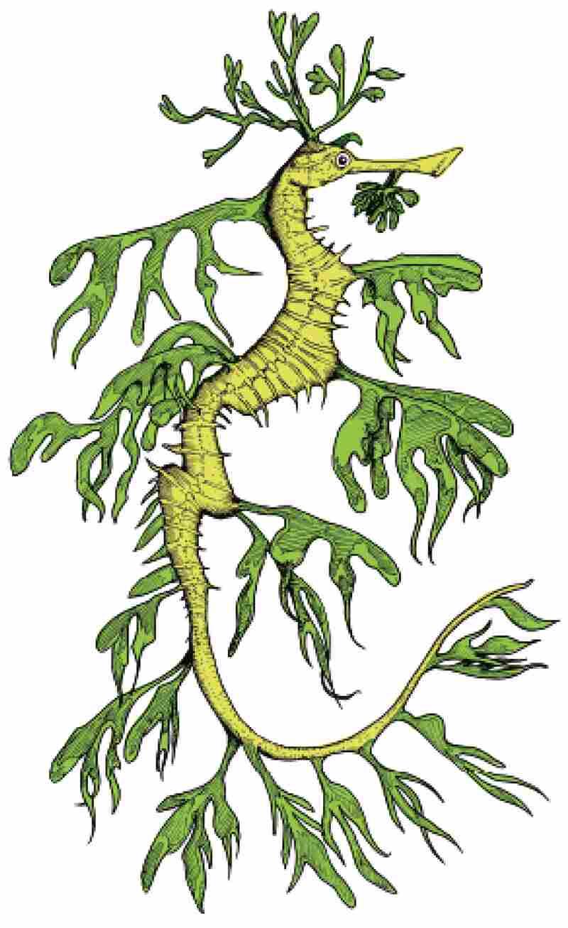 The Leafy Seadragon