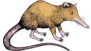 Illustrator Jelmer Noordeman's rendering of a real-life creature: the venomous, nocturnal solenodon.