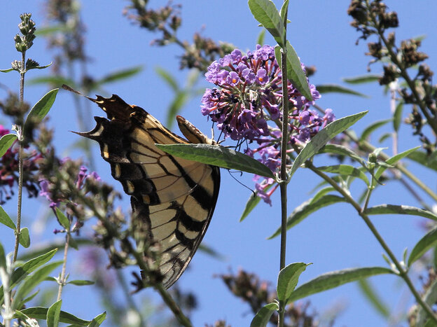 This tiger swallowtail butterfly is a pollinator that could benefit from a little more green space.