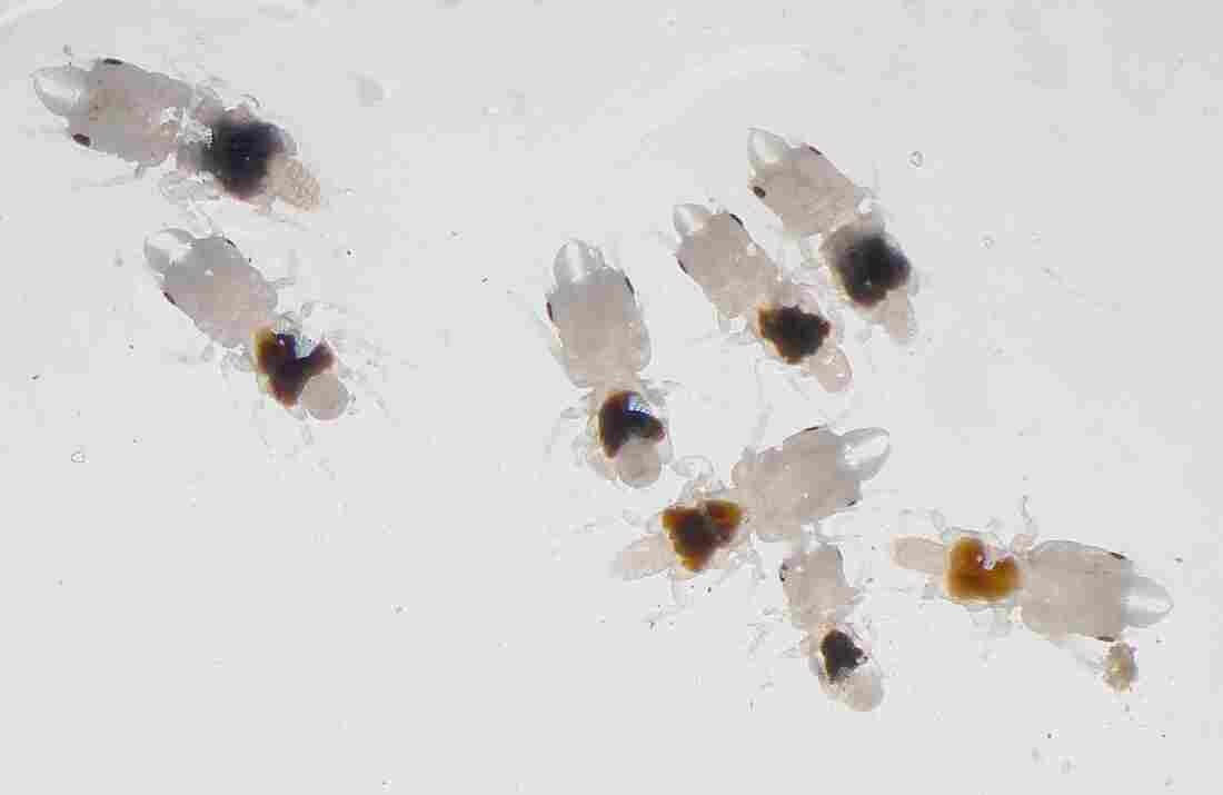 Male gnathiids.