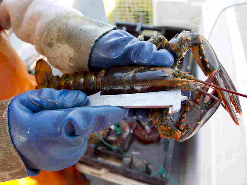 A lobster on a boat off Mount Desert, Maine, is measured to see if it is a legal size. There has been a glut of lobster this season, driving down prices.