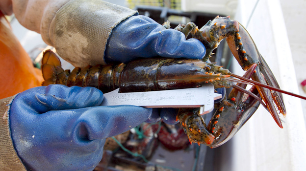 A lobster on a boat off Mount Desert, Maine, is measured to see if it is a legal size. There has been a glut of lobster this season, driving down prices. (AP)