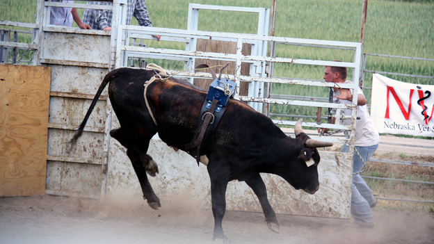 "Bulls are judged with a ""dummy"" weight for four seconds to see how hard they will jump and twist to buck a rider. Bulls that do well can sell for up to $50,000. (KCUR)"