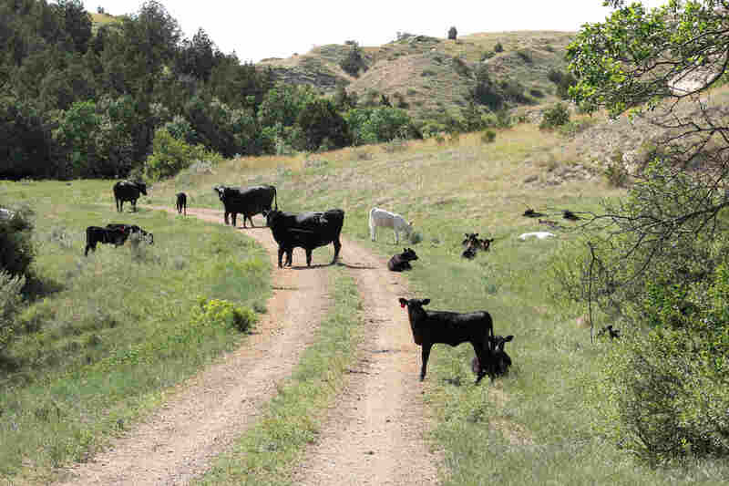Cattle graze on the dirt road that leads into Theodore Roosevelt National Park.