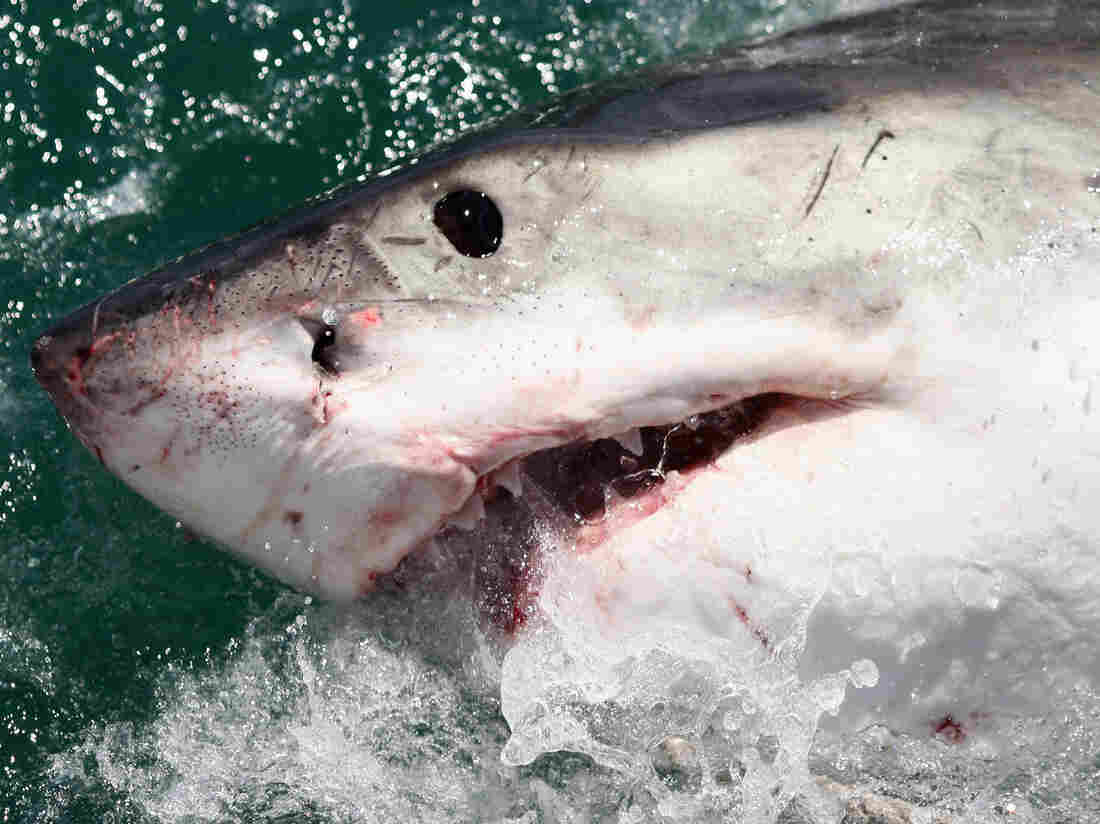 A Great White off the coast of South Africa in 2009.