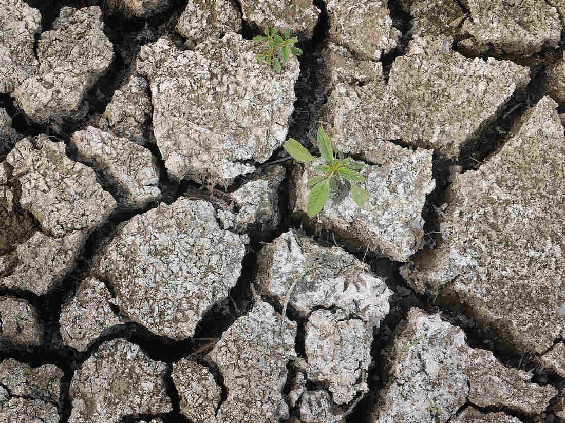 On Monday, a weed was growing through the dry earth at Marion Kujawa's pond, which he normally uses to water the cattle on his farm in Ashley, Ill.