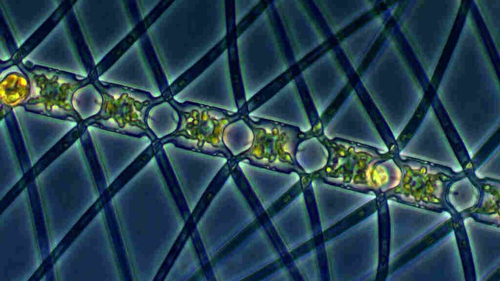This algae, called Chaetoceros atlanticus, can bloom in the ocean when iron is added to the water. It captures carbon dioxide from the atmosphere and carries the carbon down underwater when it sinks.