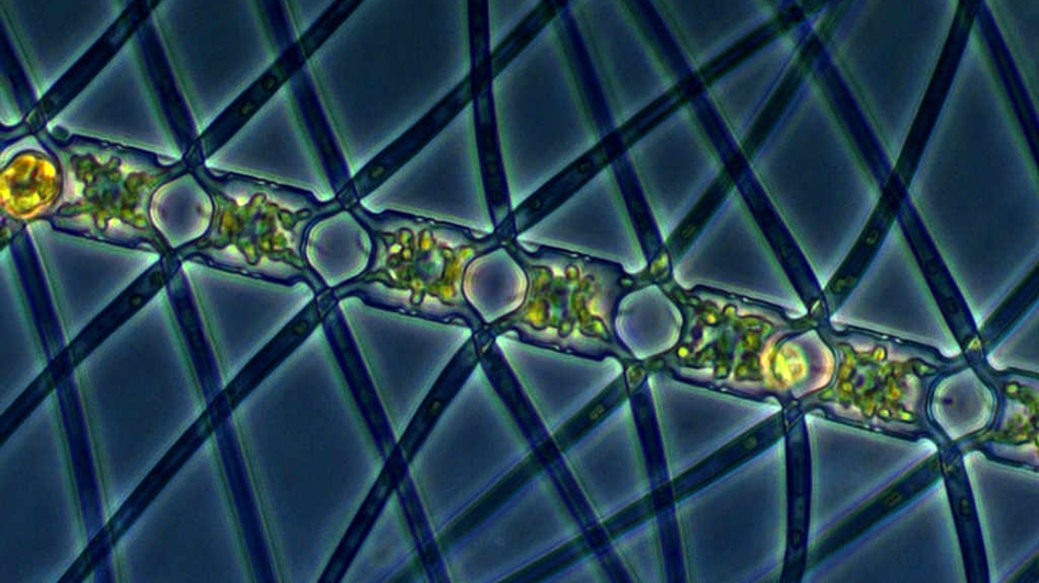 This algae, called <em>Chaetoceros atlanticus</em>, can bloom in the ocean when iron is added to the water. It captures carbon dioxide from the atmosphere and carries the carbon down underwater when it sinks.
