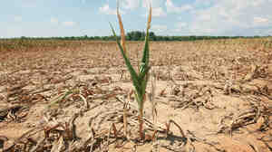 A corn plant that was  struggling to survive this week in a drought-stricken farm field near Shawneetown, Ill.