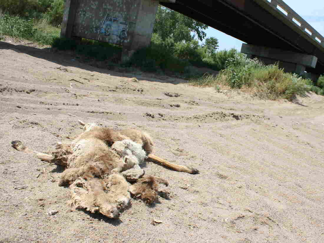A deer carcass lies on the dried riverbed of the Arkansas River in Lakin, Kan.