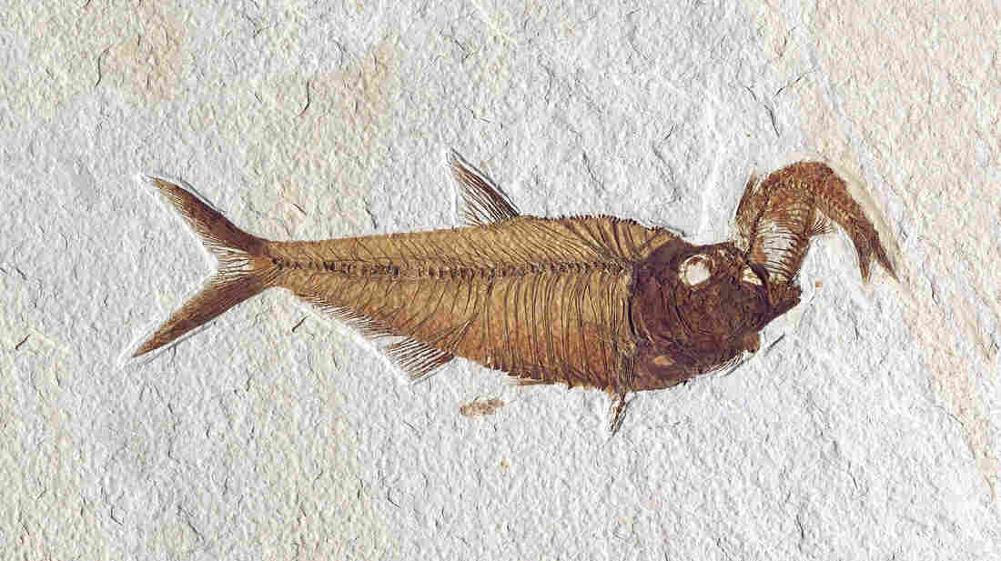 Diplomystus dentatus with Knightia in its mouth.