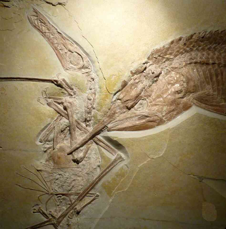 The final meal of a prehistoric armored fish frozen in the fossilized hunting scene.