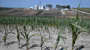 As Drought Kills Corn, Farmers Fight Over Ethanol