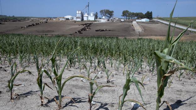 Stunted corn grows in a field next to a cattle feed lot in rural Springfield, Omaha, Neb. (AP)