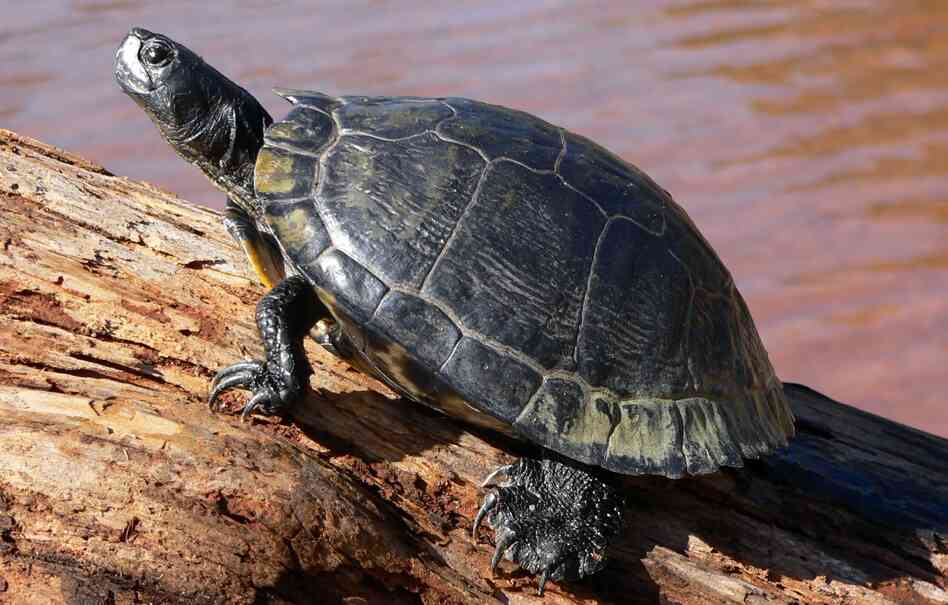 A slider turtle, one of the breeds that e