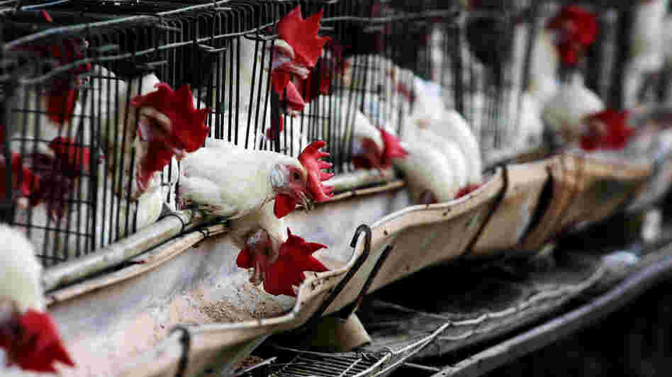 Chickens are under quarantine in Tepatitlan, Jalisco State, Mexico. The Mexican government declared a national animal health emergency July 2 in the face of an aggressive bird flu epidemic that has infected nearly 1.7 million poultry.