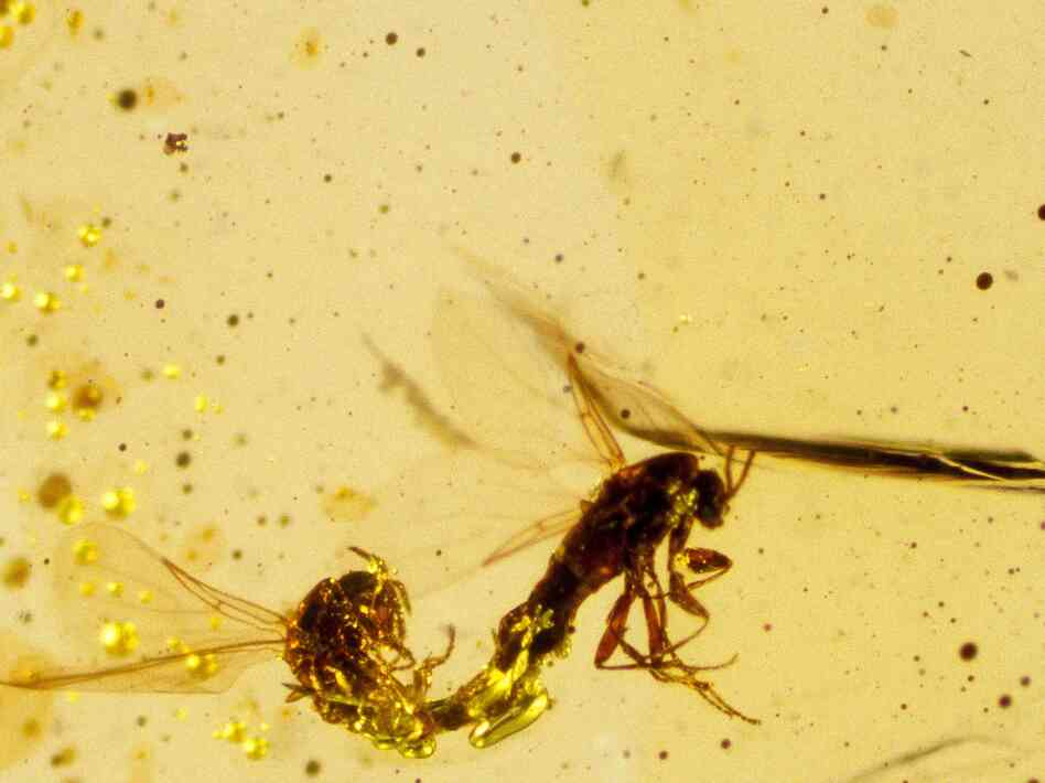 Mating dipteral insects from 125 million years ago, captured in amber.