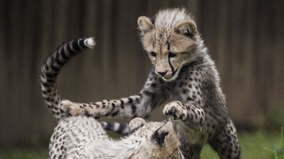 Three-month-old cheetah cubs make their public debut at the Smithsonian National Zoo on Tuesday in Washington, D.C. (Getty Images)