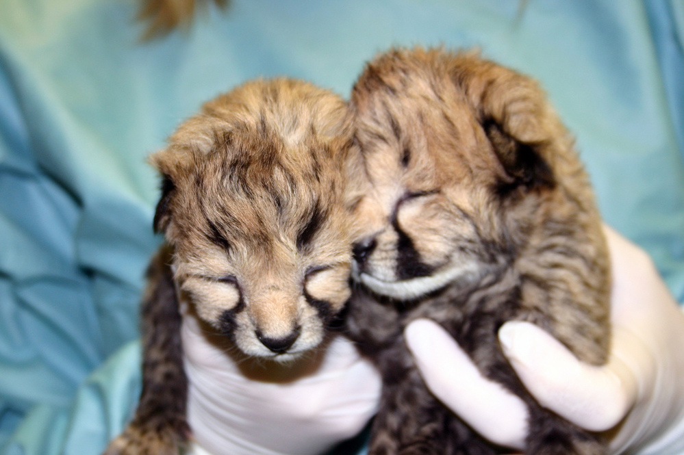 The cheetah cubs at two days old.