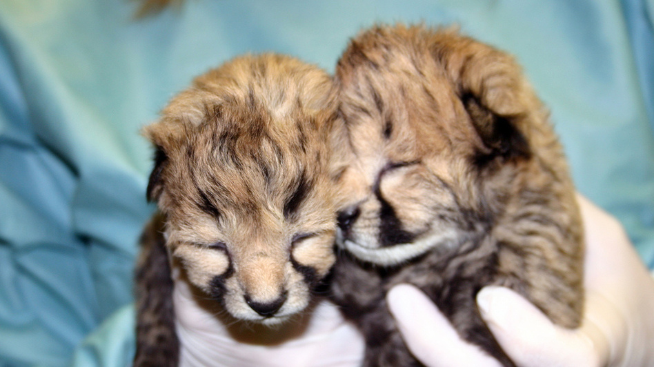 The cheetah cubs at two days old. (National Zoo)