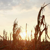 Corn plants dry in a drought-stricken farm field on July 17 near Fritchton, Ind. The corn and soybean belt in the middle of the nation is experiencing one of the worst droughts in more than five decades.