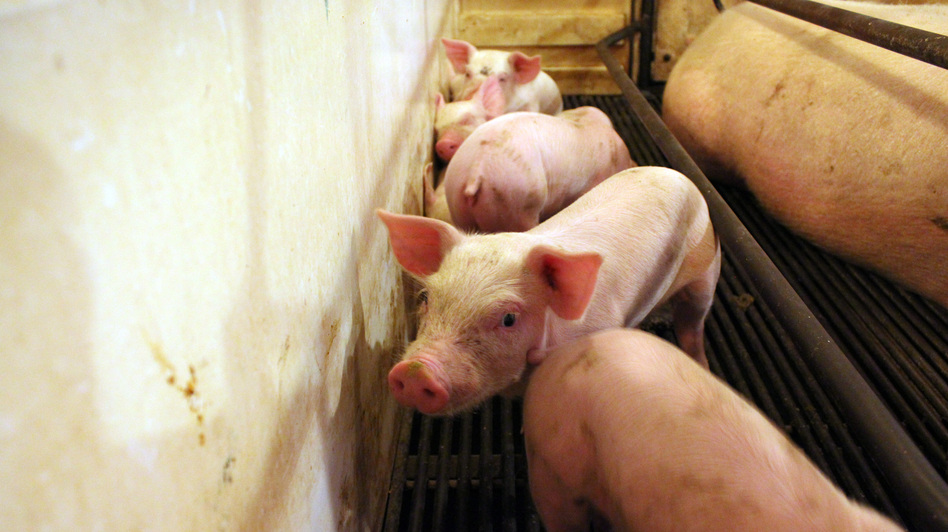 These piglets on the Hardin farm in Danville, Ind., are going to cost more to feed than they will fetch at market. (NPR)