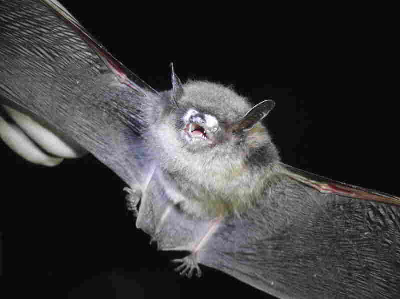 Little brown bat with white-nose syndrome often have white fungal growth on their muzzles.
