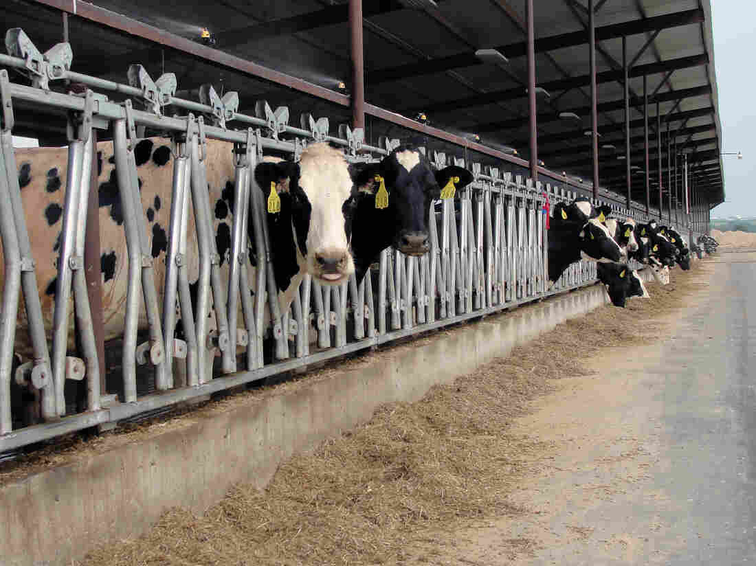 Dairy cows feed at Heins Family Farm near Higginsville, Mo. Fans and misters keep the barns cool  during this summer's record temperatures.