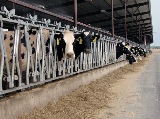 Dairy cows f