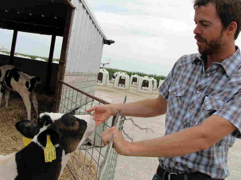 Herd manager Chris Heins greets a calf at his dairy farm near Higginsville, Mo. It will be about two years before a calf like this one is ready to be milked, so keeping them comfortable and healthy is a top concern.