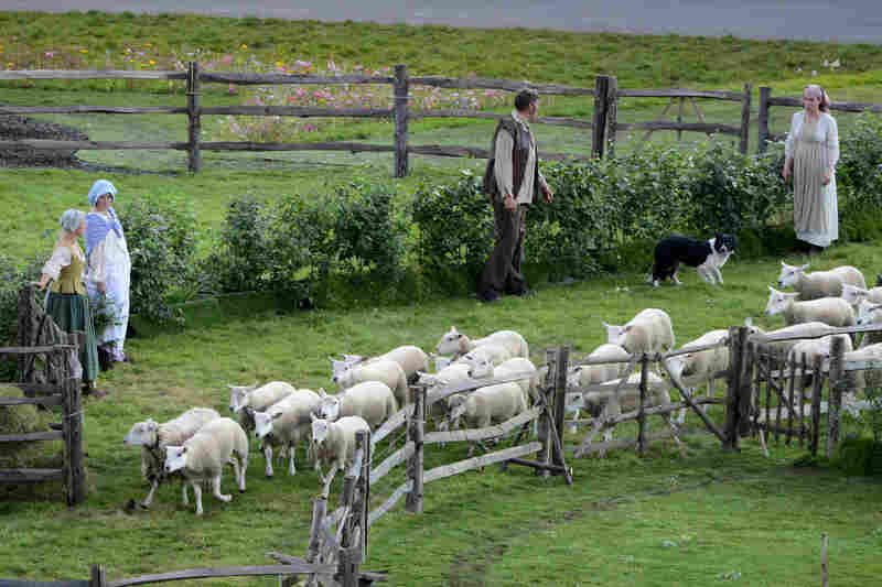 Sheep are led onto the field at Olympic Park.